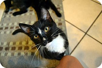 Domestic Shorthair Cat for adoption in Broadway, New Jersey - Otter