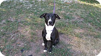Pit Bull Terrier/Labrador Retriever Mix Dog for adoption in Marion, Indiana - Kanga