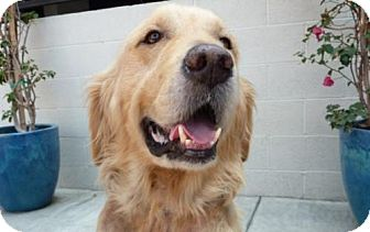 Golden Retriever Dog for adoption in Los Angeles, California - Tychon