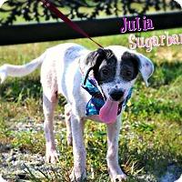 Adopt A Pet :: Julia Sugarbarker - Allentown, PA
