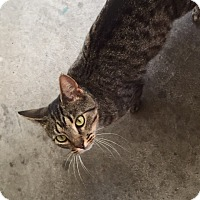 Domestic Shorthair Cat for adoption in Hazard, Kentucky - Luna