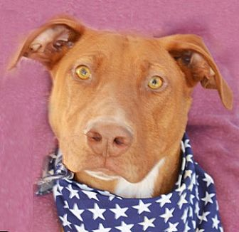Doberman Pinscher Mix Dog for adoption in Littlerock, California - Pippin