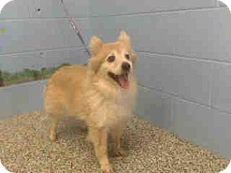 Pomeranian Mix Dog for adoption in San Bernardino, California - URGENT on 10/13 SAN BERNARDINO