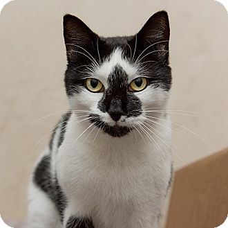 Domestic Shorthair Cat for adoption in Wilmington, Delaware - Teeter Totter