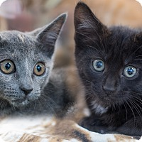 Adopt A Pet :: Laurie's Kittens - Staten Island, NY