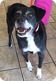 Beagle/Labrador Retriever Mix Dog for adoption in North Las Vegas, Nevada - Braixen