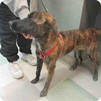 Adopt A Pet :: BECCA - Oklahoma City, OK