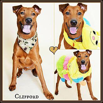 Labrador Retriever/Redbone Coonhound Mix Dog for adoption in Phoenix, Arizona - Clifford