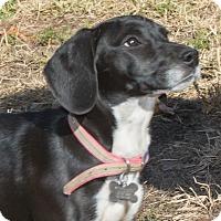 Adopt A Pet :: Daisy - Elmwood Park, NJ