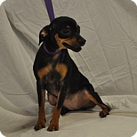 Miniature Pinscher Mix Dog for adoption in Maryville, Illinois - Cindy Lou