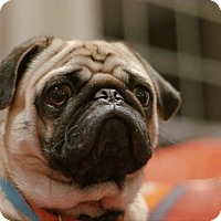 Adopt A Pet :: Tyson - Kirkland, QC