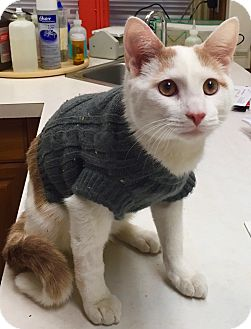 Domestic Shorthair Kitten for adoption in Marlton, New Jersey - Leaf