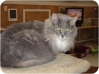 Domestic Longhair Cat for adoption in Kingston, Washington - Piper