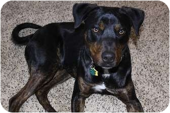 Rottweiler Mix Dog for adoption in Fresno, California - Clark