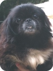 Pekingese Dog for adoption in geneva, Florida - Lacey