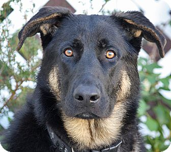 German Shepherd Dog Mix Dog for adoption in Los Angeles, California - Randolph von Rehna