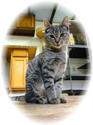 Domestic Shorthair Kitten for adoption in Shelton, Washington - Charlotte