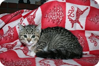 Domestic Shorthair Kitten for adoption in Santa Rosa, California - Oliver