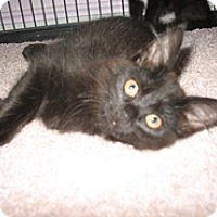 Adopt A Pet :: Ebony - Shelton, WA