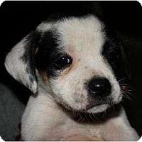Adopt A Pet :: Valentine - Mesa, AZ