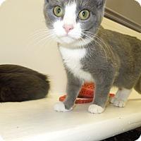 Adopt A Pet :: Mr. Boots - Medina, OH