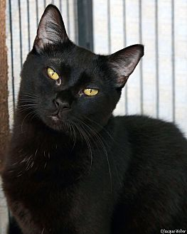 Domestic Shorthair Cat for adoption in St Louis, Missouri - Drusilla