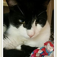 Domestic Shorthair Cat for adoption in Island Heights, New Jersey - Chester