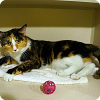Domestic Shorthair Cat for adoption in New York, New York - Robin