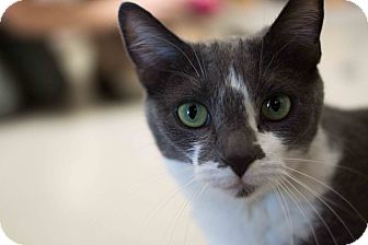 American Shorthair Cat for adoption in Phoenix, Arizona - Adele