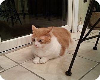Domestic Mediumhair Cat for adoption in Carlisle, Pennsylvania - SebastianCP