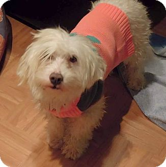 Poodle (Miniature)/Terrier (Unknown Type, Small) Mix Dog for adoption in Renton, Washington - Brodie