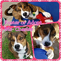 Adopt A Pet :: Charlee - Wichita, KS