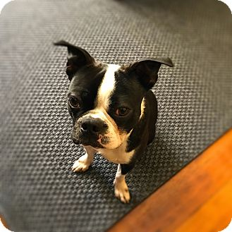 Boston Terrier Dog for adoption in San Francisco, California - Frank