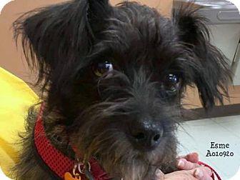 Chihuahua Mix Dog for adoption in Conroe, Texas - Esme