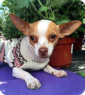 Chihuahua Mix Dog for adoption in Detroit, Michigan - Burton