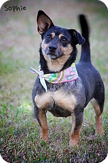 Australian Cattle Dog/Dachshund Mix Dog for adoption in Wilmington, Delaware - Sophie