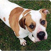 Adopt A Pet :: Pizza - Kansas City, MO