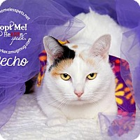 Domestic Shorthair Cat for adoption in Houston, Texas - Recho