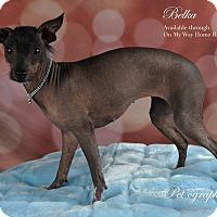 Adopt A Pet :: Belka - Henderson, NV