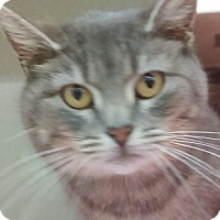 Adopt A Pet :: Tulip-SEVERAL SHADES OF GRAY - Naperville, IL