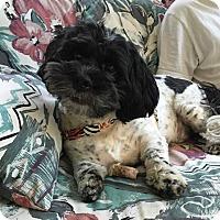 Adopt A Pet :: SCOOTER - Eden Prairie, MN