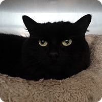 Adopt A Pet :: Shadow - Elyria, OH