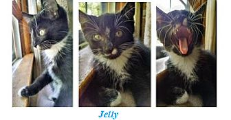 Domestic Shorthair Kitten for adoption in Northfield, Ohio - Jelly