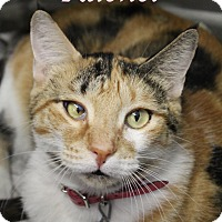 Domestic Shorthair Cat for adoption in Bradenton, Florida - Rachel