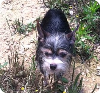 Yorkie, Yorkshire Terrier/Chihuahua Mix Dog for adoption in Dripping Springs, Texas - CJ