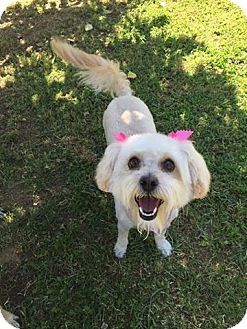 Poodle (Miniature)/Terrier (Unknown Type, Medium) Mix Dog for adoption in Bakersfield, California - Bella