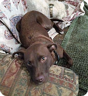 Labrador Retriever Mix Dog for adoption in Boerne, Texas - Lola