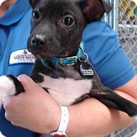 Adopt A Pet :: PJ - Angola, IN