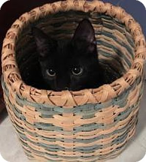 Domestic Shorthair Kitten for adoption in Franklin, West Virginia - Flipper