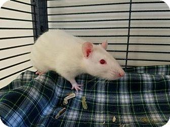 Rat for adoption in Boston, Massachusetts - ARTYE